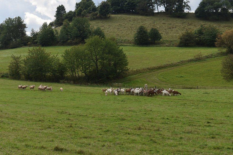 Noc na pondělí nepřežilo dalších pět ovcí.  Foto: Deník/Jiří Řezník