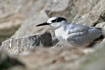 Podruhé v historii se na vodní nádrži na Rozkoši na Náchodsku objevil rybák severní. Podle pozorovatelů se pták na nádrži zdržuje od 19. července. Je to první nález v Královéhradeckém kraji v novém miléniu a celkově teprve druhý na této lokalitě.
