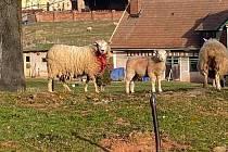 Vlci napadli ovce na Náchodsku