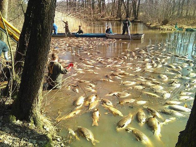 Uhynulé ryby v rybníku Brodský.