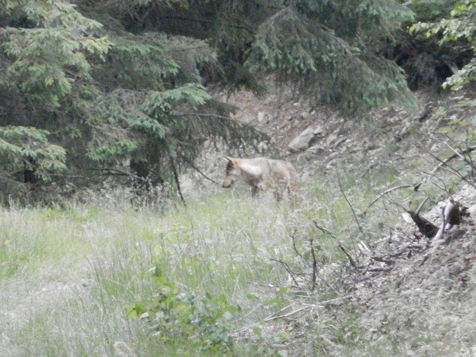 Vlk z Vraních hor z roku 2018. Cílem Vlčích hlídek je dokumentovat pobytové znaky vlků a popřípadě instalovat fotopasti.