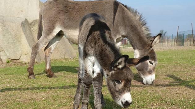 Pomoci farmě v Broumově můžete minimálně dvojím způsobem, a to buď adopcí zvířátek, nebo zajištěním krmení, kdy můžete dovézt ovoce a zeleninu, jablka, mrkve či sušené pečivo...