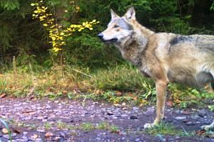 Letošní rozmnožování vlků na Broumovsku prokázaly snímky, které zachytily na několika lokalitách vlčata.