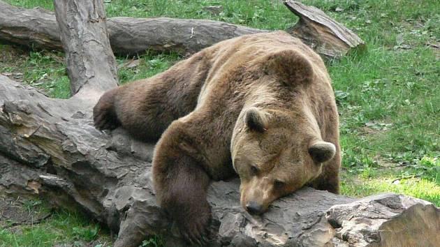 Medvědi.