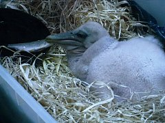 Krmení malých pelikánů - ilustrační foto.