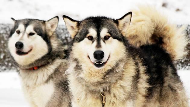 Neskutečná zima sice normální smrtelníky štípe do prstů, ale severským psům nevadí.