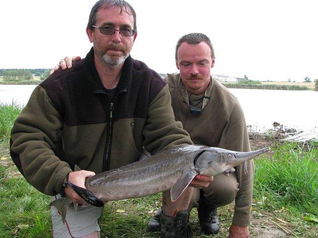 Z rybníku Brodský byly vytažení i tři jeseteři.