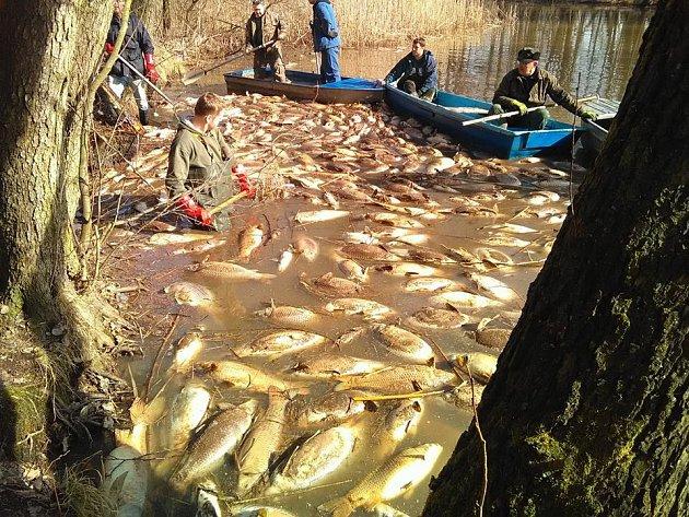 Uhynulé ryby vrybníku Brodský.