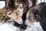 MEDVĚDI DÁŠA A LUDVÍK už dávno považují náchodský zámek za svůj domov. Žijí tu přes dvacet let a ve zdejším medvědáriu strávili už pěknou řádku zim.