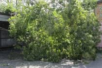 Spadlý strom v Broumově.