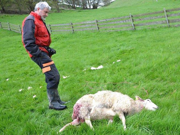 VLČÍM ÚTOKŮM nechtějí jen přihlížet. Farmář Jan Šefc z Lachova u jedné z ovcí, která nepřežila útok vlka.