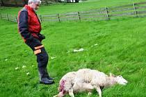 FARMÁŘ Jan Šefc starší ukazuje jednu z ovcí, která nepřežila útok vlka.