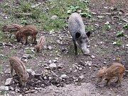 DIVOKÁ PRASATA jsou jedním z lákadel obůrky v Klopotovském údolí, v takzvané Novoměstské zoo. Bachyně však uhynula, jak potvrdila i pitva, v důsledku otravy.