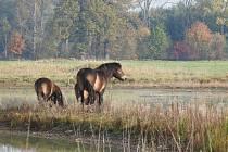 Potěšující a nečekaný je zájem divokých koní exmoorských pony o mokřadní rostliny. Spásání trávy koňmi se stalo klíčovým způsobem údržby celého mokřadu, hlavně jinak obtížně udržovatelných kanálů a tůní. Ke koním přibudou během listopadu i pratuři.