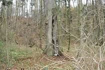 Vykotlaný strom, ve kterém  přežil muž půl roku.