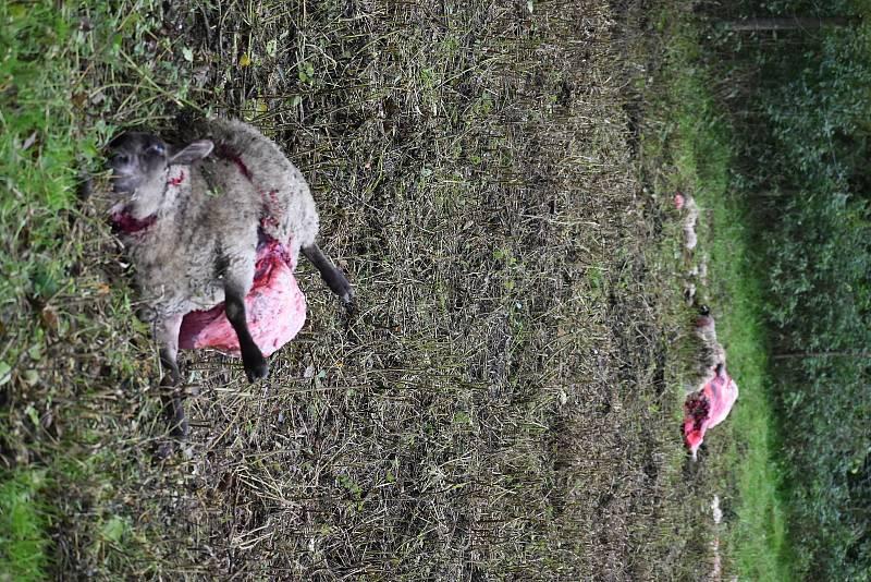 Dvě zardoušené ovce mají vlci na svědomí i v Janovicích na Trutnovsku. Cestou na hostinu (nebo z ní) museli proběhnout přes pastviny s koňmi, a koně splašili natolik, že prorazili na několika místech ohradu a několik desítek jich uteklo.  Foto: Deník/Jiří