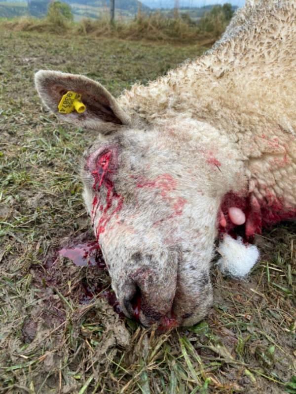 Po dalším útoku vlků zůstalo na pastvině Jana Šefc v Lachově osm mrtvých kusů a více než desítka zraněných.