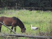 Jedním z ptačích návštěvníků rezervace Josefovské louky je čáp bílý.