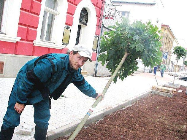 Nová výsadba v podobě téměř čtyřiceti javorů je nyní součástí Komenského ulice, která prochází celkovou rekonstrukcí.