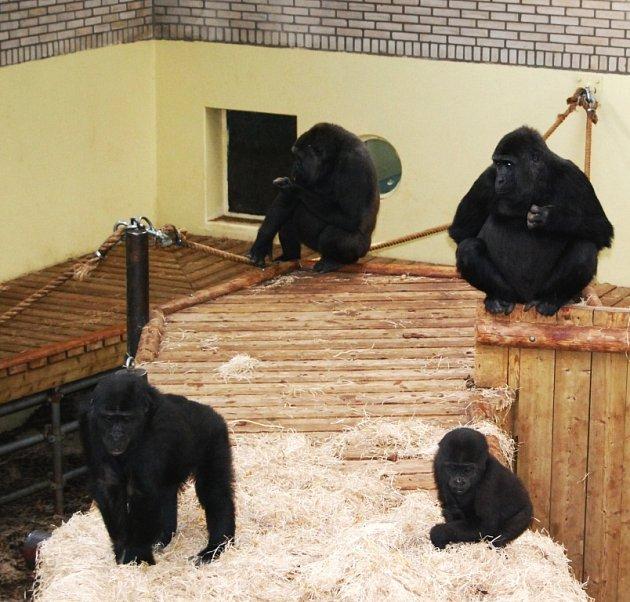 PRACOVNÍCI Zoologické zahrady ve Dvoře Králové nad Labem právě skládají bednu s novým přírůstkem, který přenesli do pavilonu. Gorilí samice Shinda je na třetím snímku v levém dolním rohu.