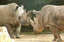 Nosorožci.