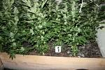 Náchodským kriminalistům se podařilo odhalit další pěstírnu marihuany, ukrývající se v nenápadné usedlosti v jedné z menších obcí u Jaroměře.