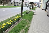 TULIPÁNY zdobí Komenského ulici v Novém Městě.