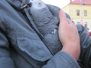 Hasiči šplhali do korun stromů pro papouška.
