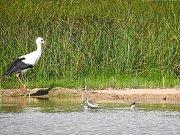 I v době největšího sucha poskytují tůně Slavíkovského ptačníku útočiště pro mokřadní ptáky.