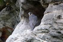 Sokoli v CHKO Broumovsko už vylétli z hnízd.