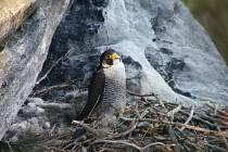 SOKOLI v Broumovských skalách během loňského hnízdění. Ochránci věří, že letos vylétne více mladých sokolíků.