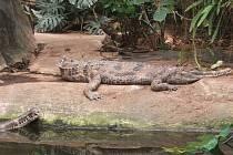 Krokodýli v královédvorské ZOO.