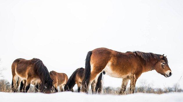Divocí koně na Josefovských lukách.