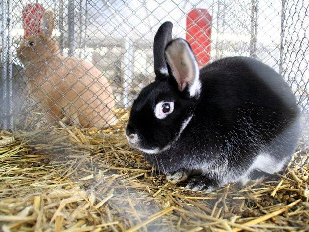 VYSTAVENI byli králíci mnoha druhů a barev.