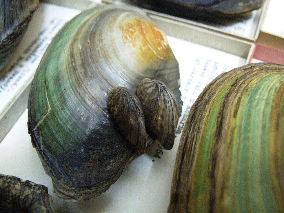 Sbírka demonstruje i vazby mezi  jednotlivými druhy sladkovodních měkkýšů. V tomto případě invazivní slávička mnohotvárná napadá lastury svých větších bratránků…