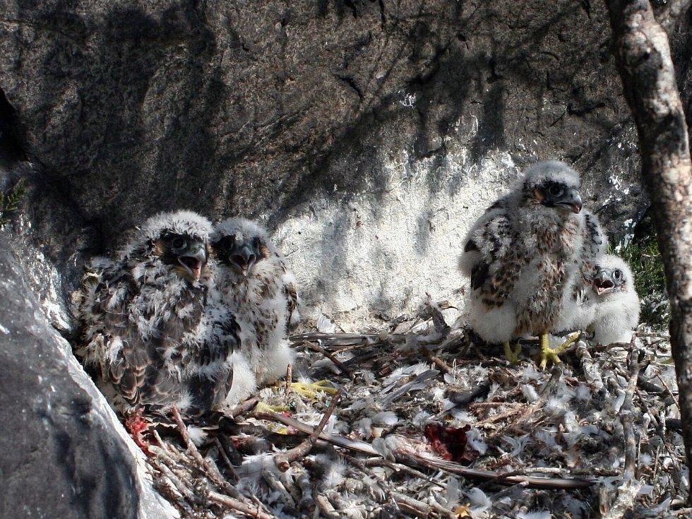 Pokud bude hnízdění zdárně pokračovat, budou vidět i malí sokolíci vycházející ze skalní dutiny na okraj římsy.