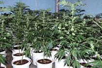 Pěstírna a zajištěné rostliny marihuany v Teplicích nad Metují.