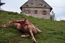 Zkrvavený kadáver ovce ležel jen zhruba 15 metrů od domu zrovna v místech, kde chovatel ovcí spal. Přesto v noci žádné známky boje o život nezaregistroval.