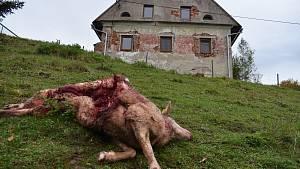 Útok vlků na náchodsku