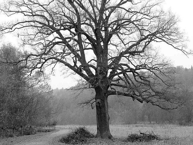 Správně ošetřený strom zdravotním řezem.