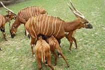 Pralesní antilopa bongo.