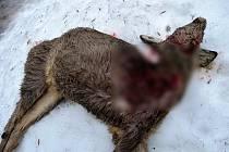 Jedna ze srnek, která musela být po útoku volně pobíhajících psů v lokalitě pod Klůčkem v Polici nad Metují dostřelena.