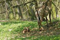 Antilopa.