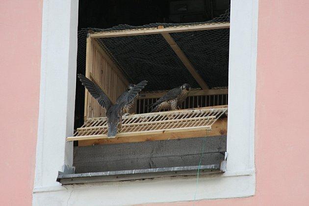 Tři malí sokolíci, kteří posledních deset dnů trávili ve vypouštěcí kleci v  Malé věži broumovského kláštera, se poprvé rozlétli nad Broumovem.