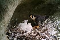 ZE ŽIVOTA SOKOLŮ. Díky fotopasti bylo možné sledovat hnízdění sokolů takřka online. Ochránci přírody se tak dozvěděli v kolik hodin snídají a jak rychle mláďata rostou. Snímek zachycuje krmení mláďat.