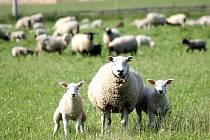 ABY FARMÁŘI OCHRÁNILI své ovce, objíždějí pastviny. Rady ochránců prý nejsou pro praxi moc použitelné.