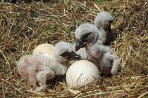 Čapímu páru v jaroměřské záchranné stanici se líhne již čtvrtá generace mláďat.