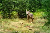 Vlčí hlídky budou hledat vlky, houbaři na ně narazili aniž by chtěli   Vlci, kteří se na Broumovsku usadili na podzim roku 2015, přivedli vloni na svět minimálně dvě mláďata.