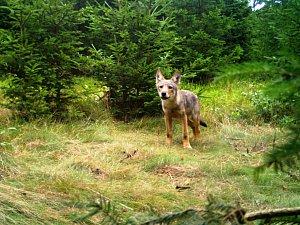 Vlčí hlídky budou hledat vlky, houbaři na ně narazili aniž by chtěli