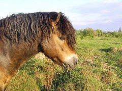 EXMOORSKÝ PONY odpovídá svou velikostí, stavbou těla a zbarvením původním divokým koním z oblasti střední a západní Evropy.
